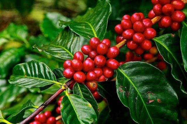 plantacje kawy w ugandzie