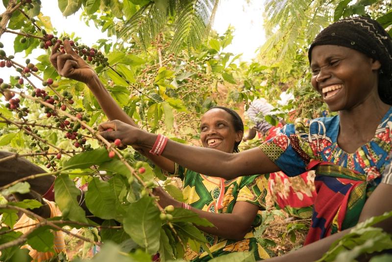 Ziarna kawy z rwandy