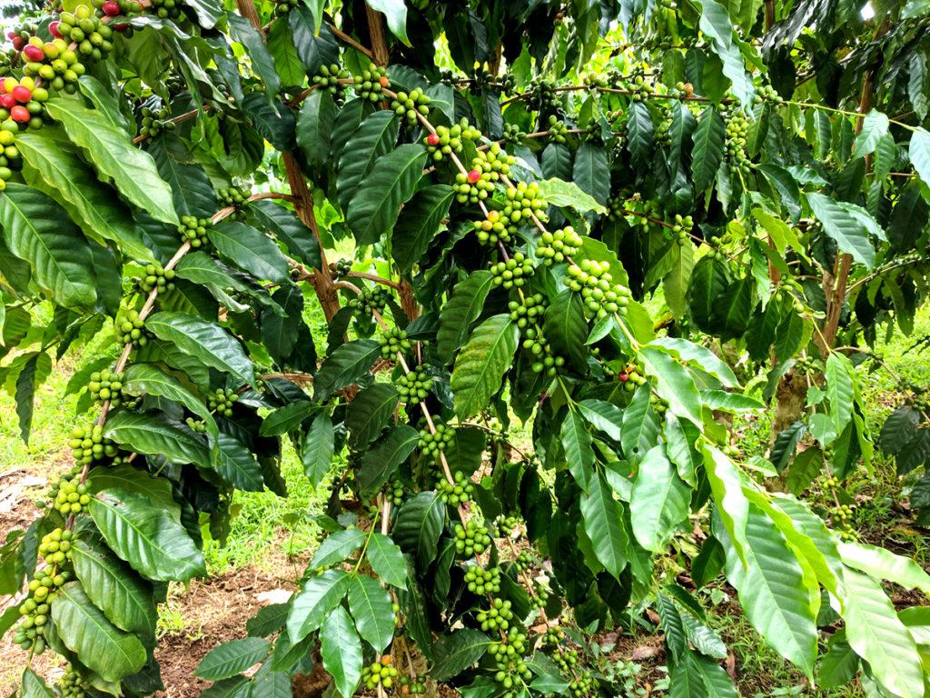 rosnąca kawa w keni