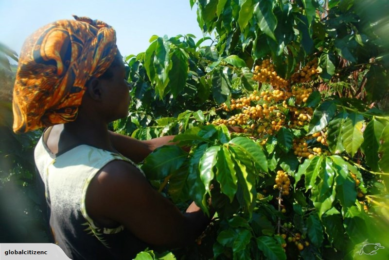 kawa w malawii