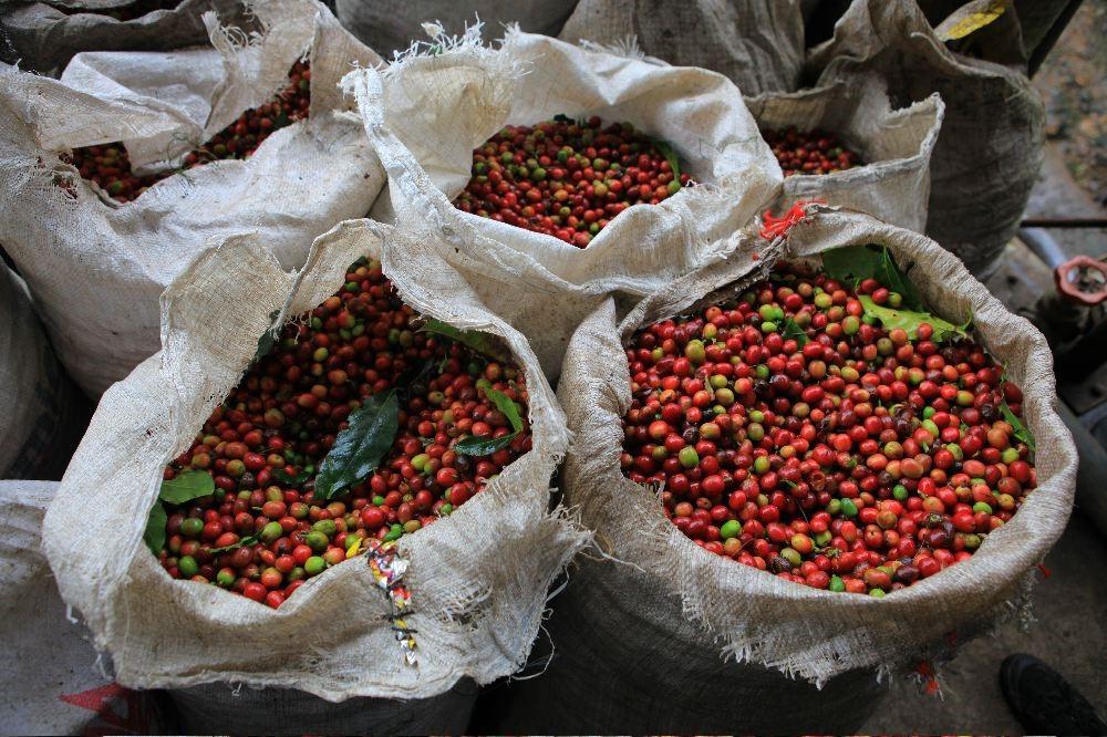 plantacje papua nowa gwinea