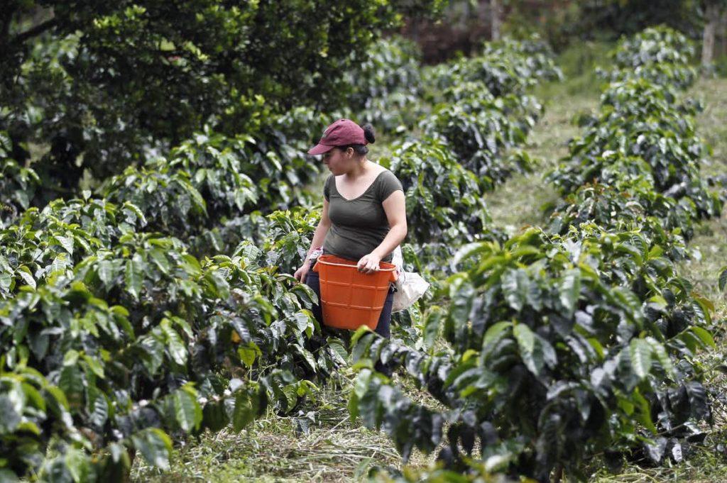 zbiory kawy w kolumbii