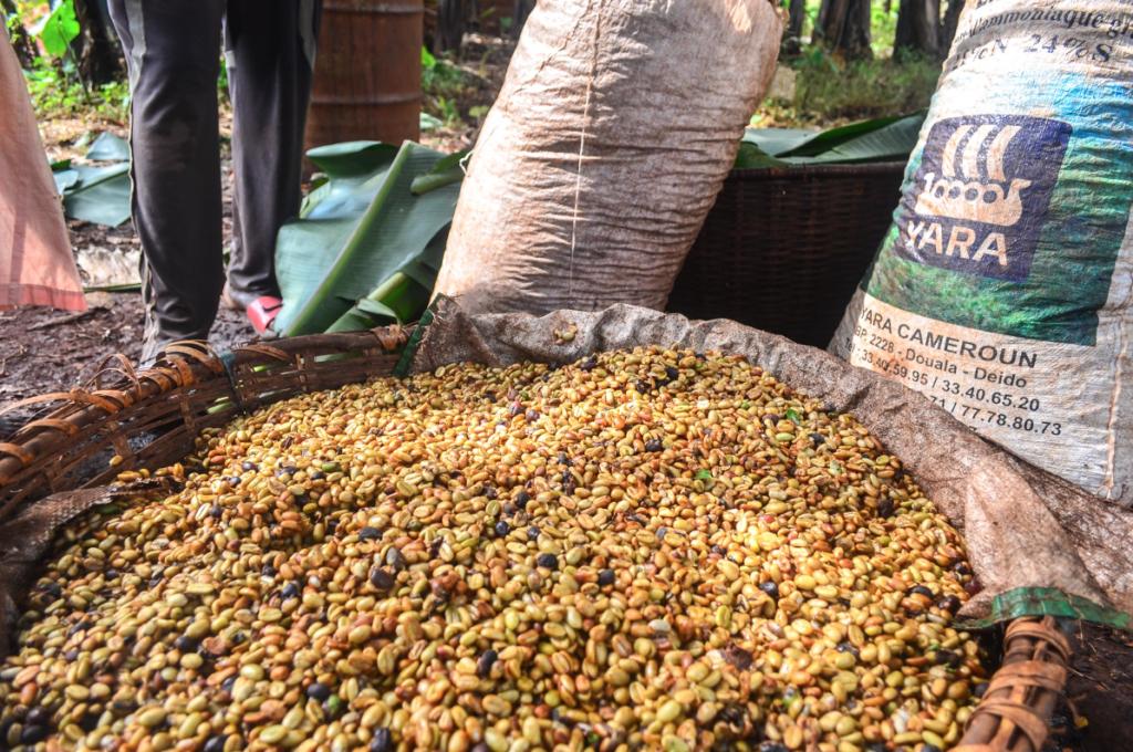 plantacje kawy kamerun