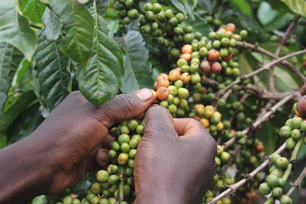 kawa z ugandy