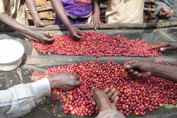 kawa z konga