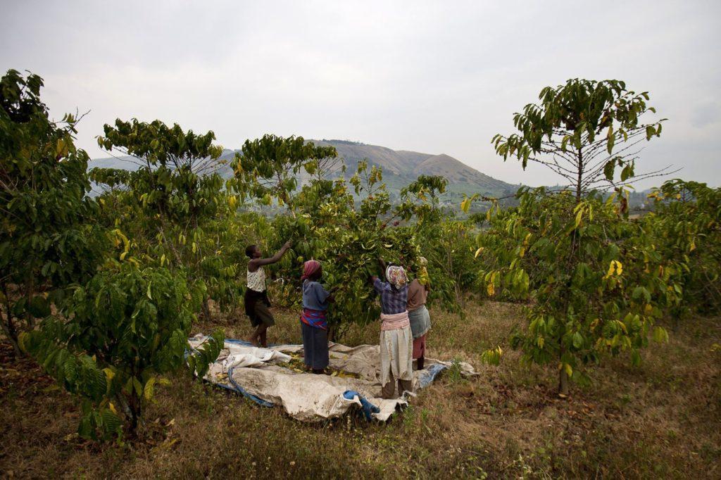 arabika w ugandzie