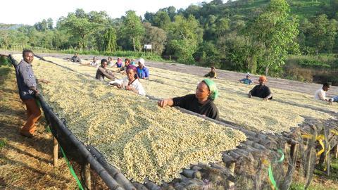 Kawa z Etiopii plantacja